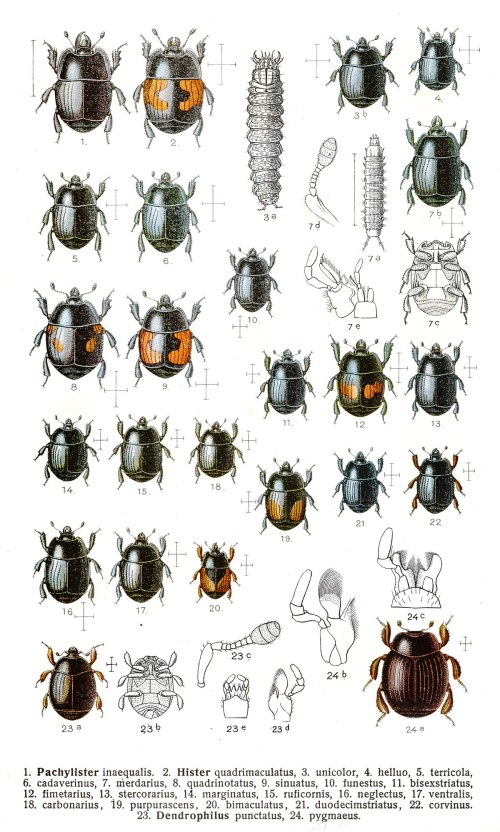 small resolution of beetle insect diagram