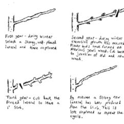 How To Prune An Apple Tree Diagram Eberspacher Wiring Fruit Pruning - Wikipedia