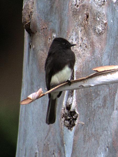 File:Sayornis nigricans NBII.jpg
