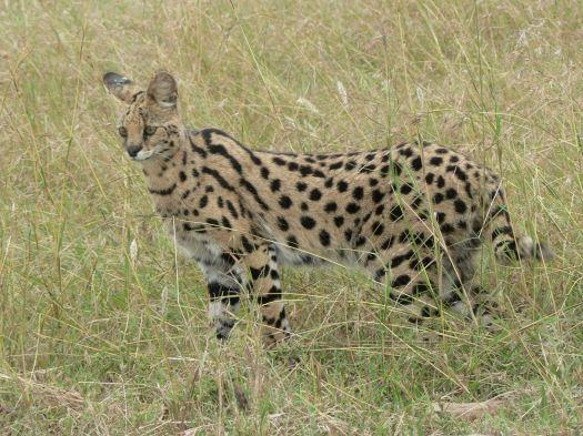 Serval in Tanzania.jpg