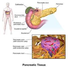 horse gi diagram 4 pin cfl wiring pancreas - wikipedia