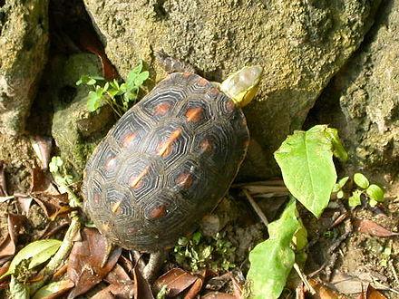 黃緣閉殼龜 - Wikiwand