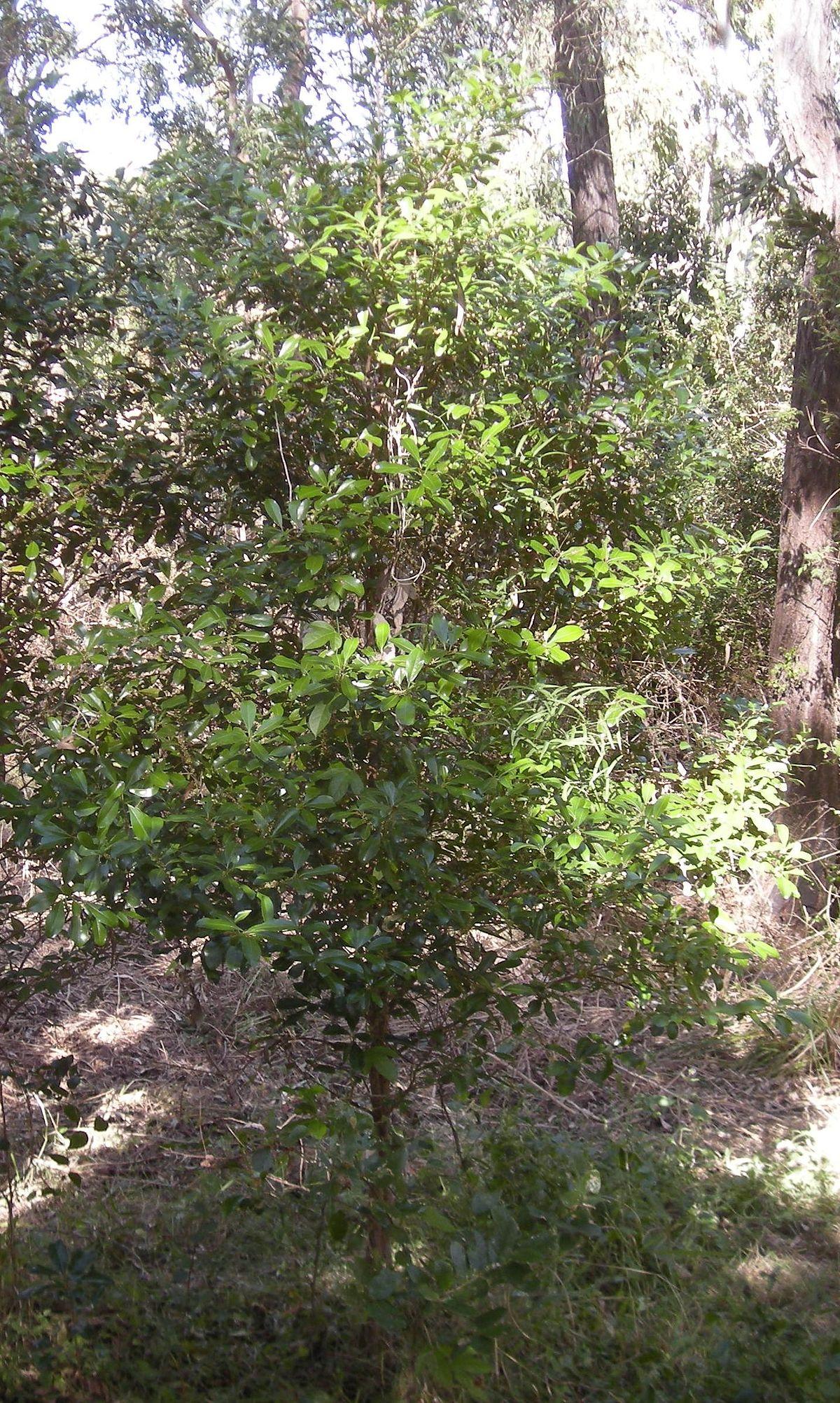 Rapanea Variabilis Wikipedia