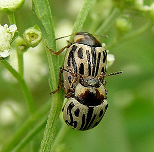 Parthenium beetles