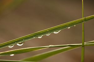 Raindrops hanging on a blade of dune grass, La...