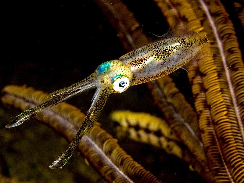 File:Sepioteuthis lessoniana (Bigfin reef squid).jpg