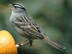 White-crowned Sparrow (Zonotrichia leucophrys)...