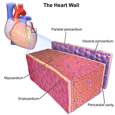 human muscle cell diagram 2003 mitsubishi lancer wiring cardiac wikipedia 3d rendering showing thick myocardium within heart wall