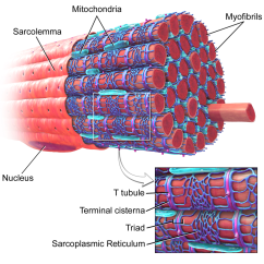 Muscle Fiber Diagram Wiring For Dual Batteries Myofibril Wikipedia