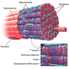 Diagram Of Cellular Energy 2004 Ford F150 Stereo Wiring Skeletal Muscle - Wikipedia