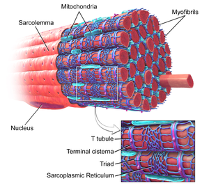 human muscle cell diagram wiring for house sockets myofibril wikipedia