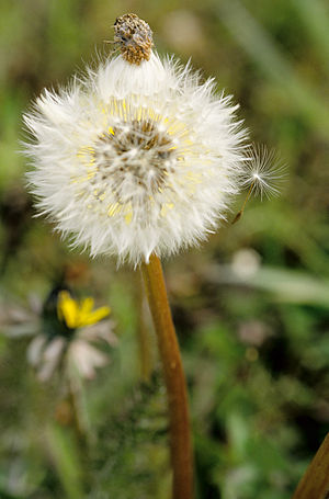 English: Dandilion. Portland, Oregon.