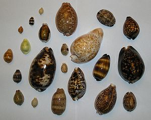The Cowry Seashell (1/3)