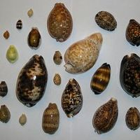 The Cowry Seashell