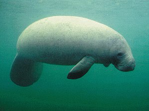 A West Indian Manatee, a member of Order Siren...