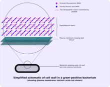 microbiology prokaryotic cell diagram labeled maytag electric dryer wiring envelope wikipedia schematic of typical gram positive wall showing arrangement n acetylglucosamine and acetylmuramic acid teichoic acids not shown