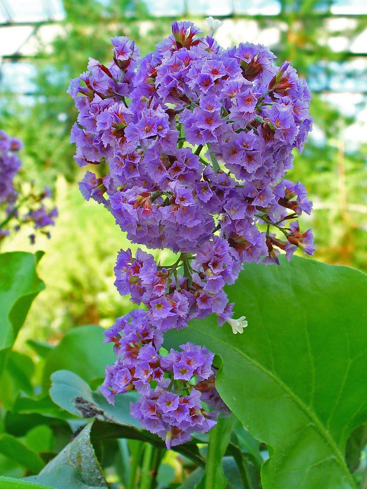 Limonium Arborescens Wikipedia