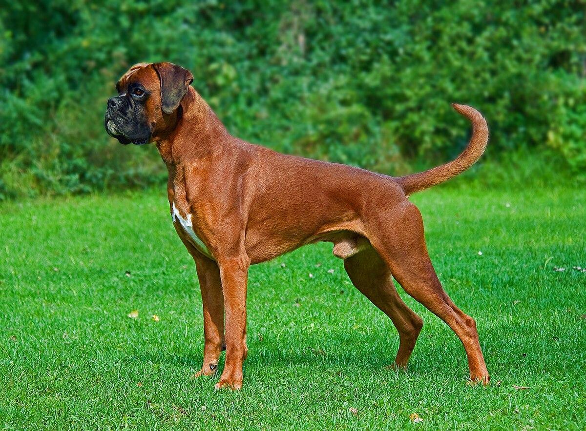 2005 big dog bulldog wiring diagram honda accord parts boxer wikipedia