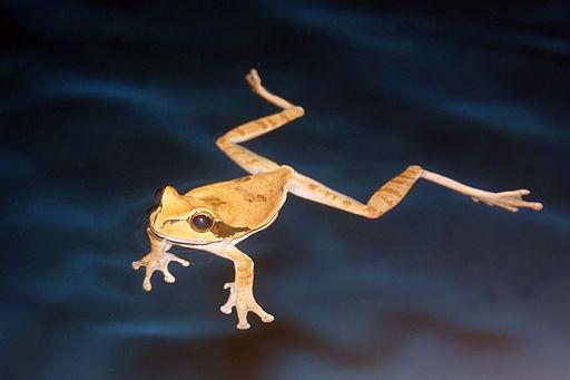 Masked tree frog swimming