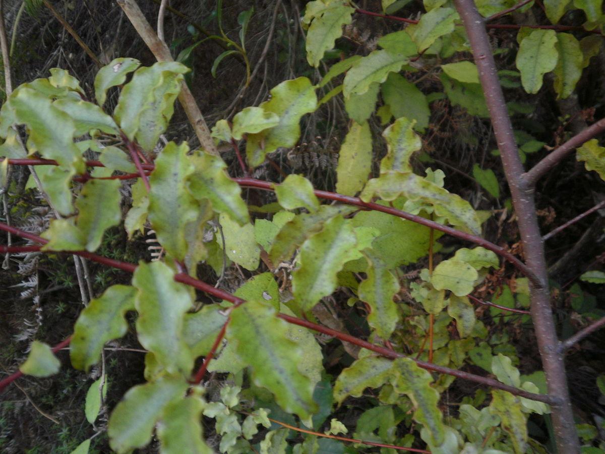 Myrsine australis  Wikipedia