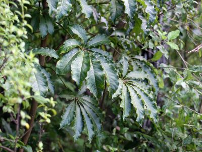 Schefflera digitata - Wikipedia