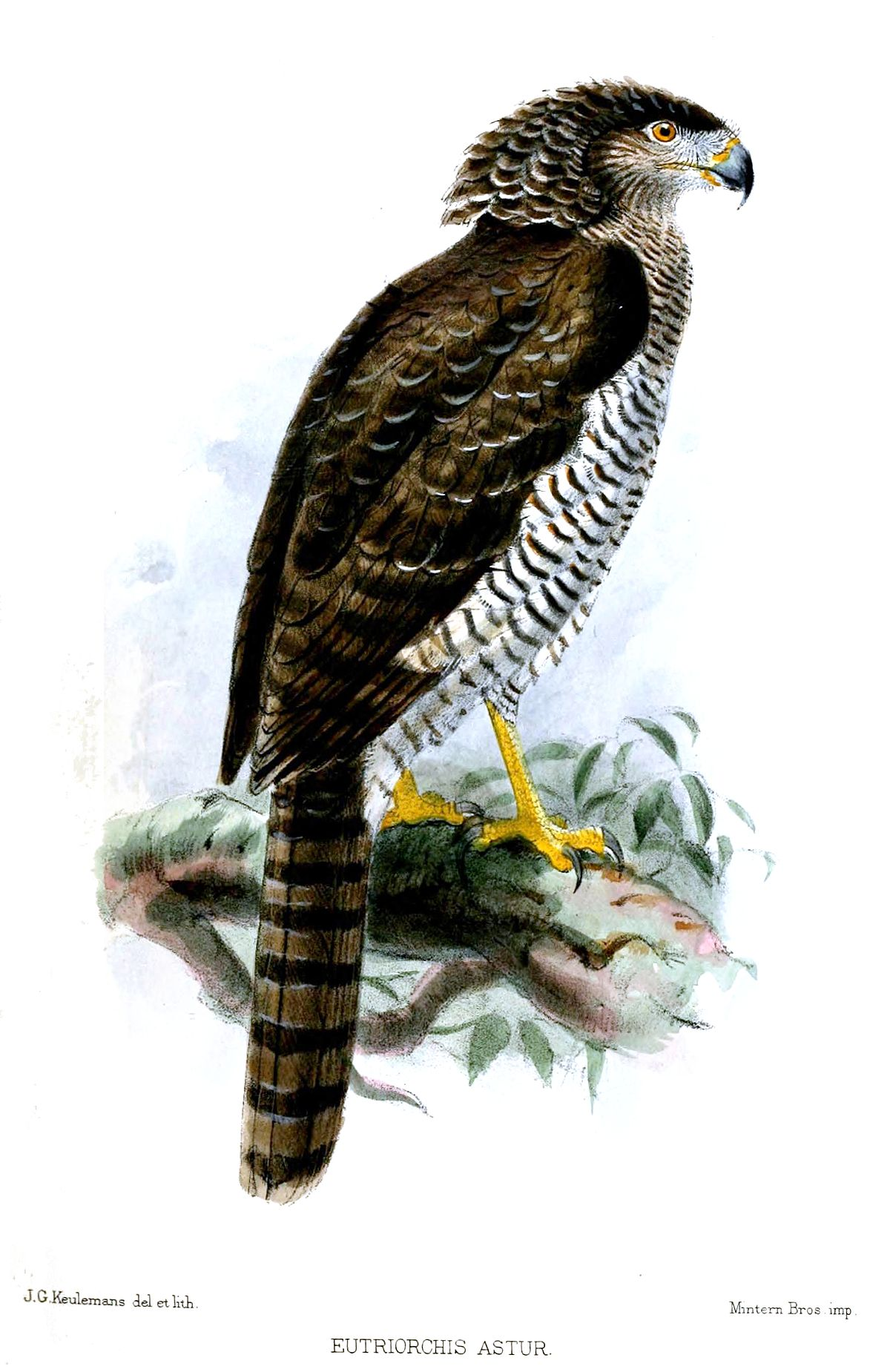 Madagascan serpent eagle  Wikipedia