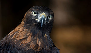 English: Golden eagle