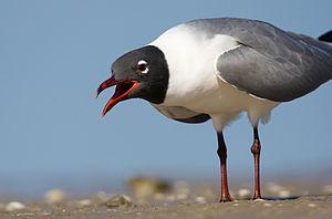 English: Laughing gull