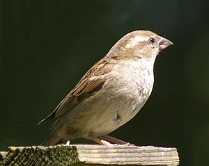 English: House Sparrow (Passer domesticus) Thi...