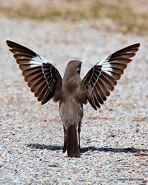 English: A Northern Mockingbird spreads its wi...