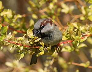 English: A male House Sparrow nibbling a plant