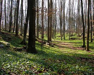 Spring forest near Planina (Slovenia, 2008)