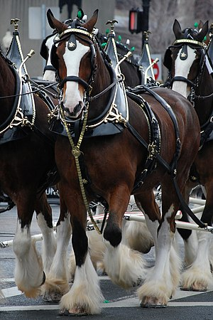 The Budweiser Clydesdales at the 2008 South Bo...