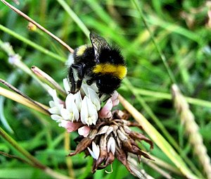 English: Bumble Bee This Bumble bee (Bombus lu...