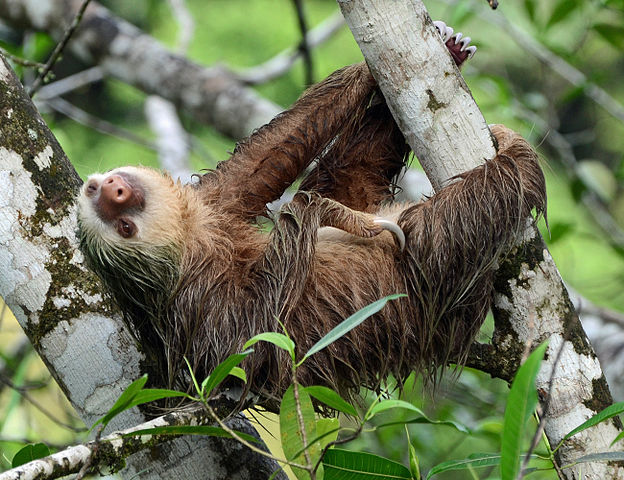 A two-toed sloth (Choloepus hoffmanni) at La Selva Biological Station, Sarapiqui, Costa Rica. By Geoff Gallice