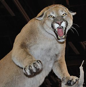 English: North Amerian Cougar