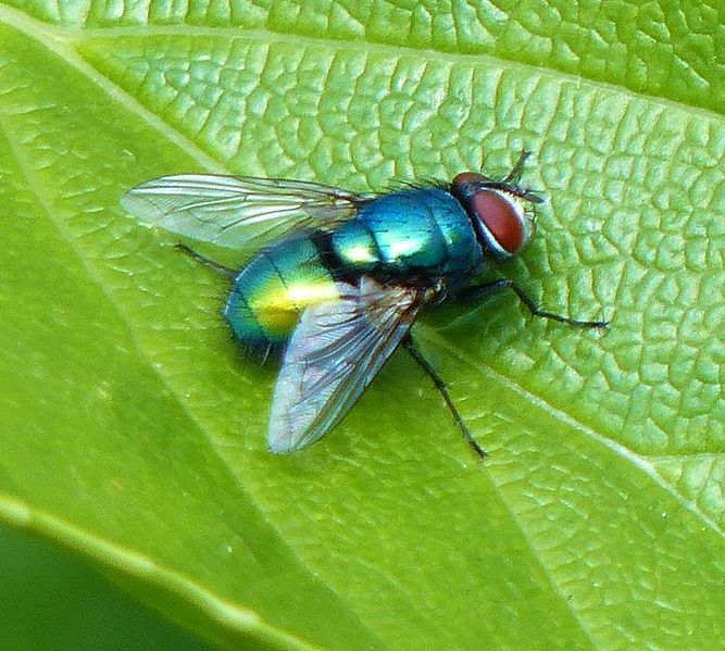 File:Green bottle fly 2013-05-26.jpg