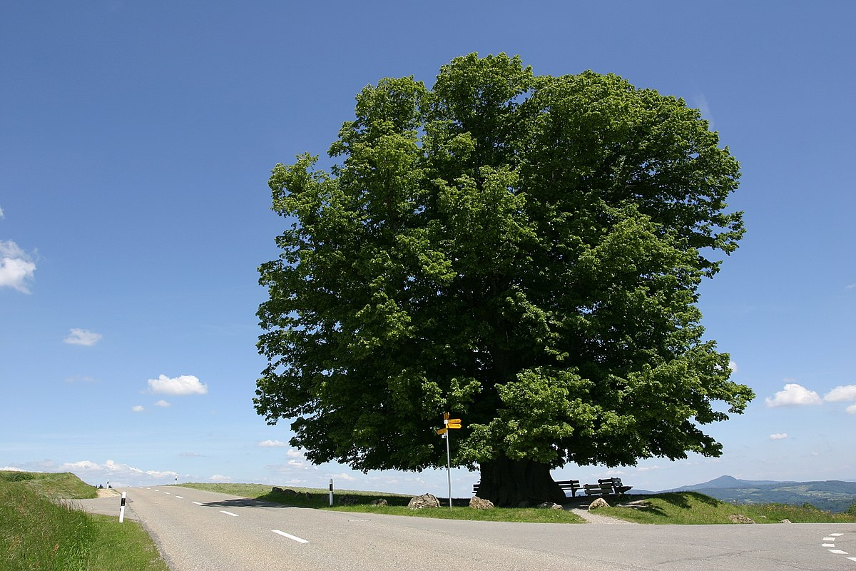 Veteran Tree Wikipedia