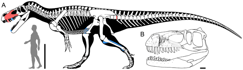 File:Torvosaurus gurneyi.png