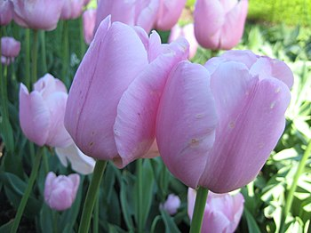 Tulipa Liliaceae