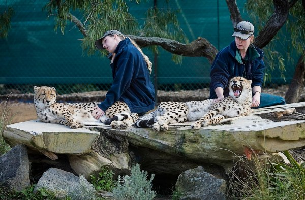 File Two Zookeepers With Cheetahs Auckland Zoo - 0501