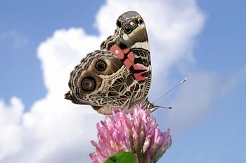 English: An American Lady butterfly against a ...