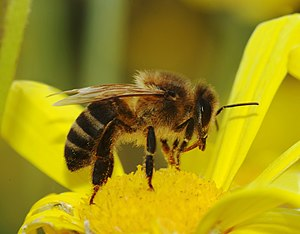 Apis mellifera (European honeybee)