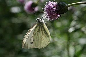English: Butterfly (Pieres napi) seen in Krono...