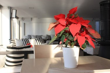 English: Poinsettia on table at Christmas time...