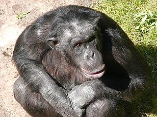 Santino, el chimpancé lanzador de piedras del Zoo de Furuvik