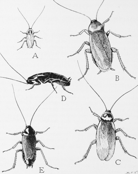 File:Snodgrass common household roaches.png