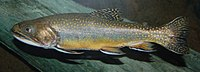 Brook Trout Salvelinus fontinalis 2900px.jpg
