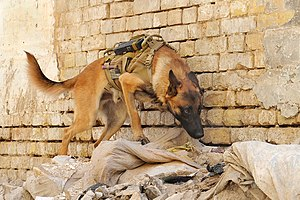 An U.S. Army military working dog, Andy, searc...