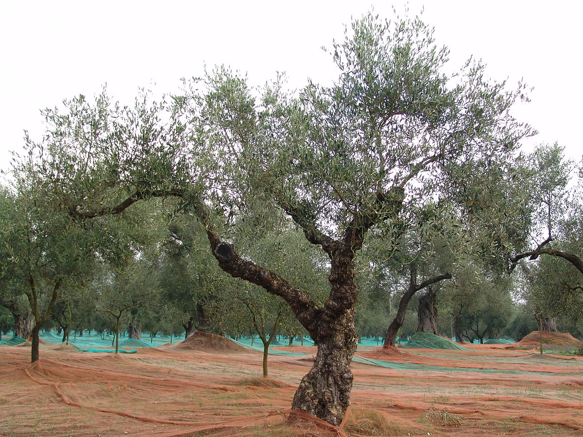 Olive Tree Wiktionary